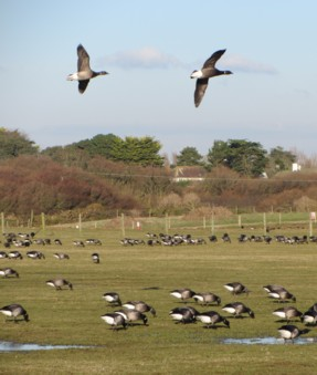 W Wittering Geese